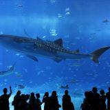 街コンレポート_美ら海水族館の特大水槽のジンベイザメを鑑賞している