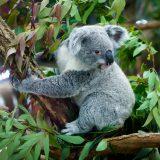 街コンレポート_コアラが木の上にいます